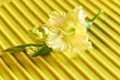 Yellow gladioluys on yellow texture background. Yellow flower gladiolus laying diagonally on yellow textured sriped background, closeup, copy space royalty free stock photo