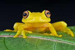 Yellow glass frog. The glass frog is an nocturnal,almost transparent,frog species from South America Stock Photography
