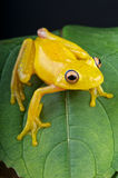 Yellow glass frog Stock Images