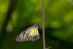 Yellow glassy tiger butterfly Stock Photos