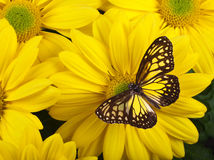 Yellow Glassy Tiger Butterfly. On Yellow Chrysanthemum stock photo