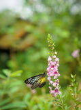 Yellow Glassy Tiger Butterfly in a garden. Yellow Glassy Tiger butterfly found in a garden stock photos