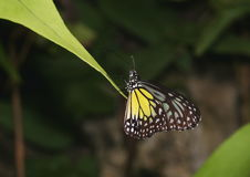 Yellow Glassy Tiger butterfly, Parantica aspasia. Yellow Glassy Tiger butterfly, Parantica aspasia, perched on a leaf Royalty Free Stock Photography