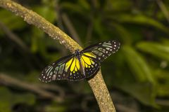 Yellow Glassy Tiger butterfly, Parantica aspasia stock image