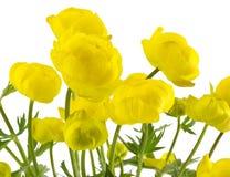 The yellow globe-flower. Royalty Free Stock Photo