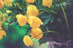Yellow globe-flower. Flowers torn in the forest, yellow globe-flower Stock Images