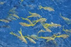 Yellow Goat Fish Royalty Free Stock Photography