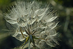 Yellow Goat's Beard flower in backlight royalty free stock images