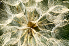 Yellow Goat's Beard spindle shaped seeds royalty free stock photo