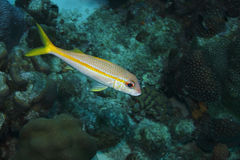 Yellow Goatfish (Mulloidichthys martinicus). With coral in background Stock Photo