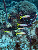 Yellow Goatfish School - Cayman Island Reef. A small school of Yellow Goatfish swim along a reef of tube sponges and coral heads in Grand Cayman Island waters Royalty Free Stock Photography