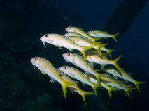 Yellow Goatfish 03 Stock Images