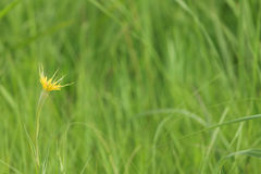 Yellow goats beard flower Stock Photo
