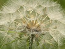 Yellow Goatsbeard Seed Head Royalty Free Stock Photography