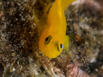 Yellow goby fish. On coral Royalty Free Stock Photo