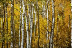 Yellow Gold Through the Aspens. Golden colors of autumn through aspen trees Royalty Free Stock Images