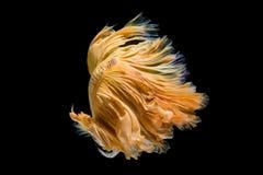 Yellow gold betta fish, dancing tail. royalty free stock photos