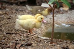 Yellow gold duck, baby duck happy in pond countryside style stock photos