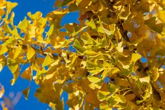 Yellow and gold leaves of Ginkgo biloba tree against the blue sky. Golden foliage stock photos