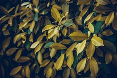 Yellow or gold leaves nature background royalty free stock images