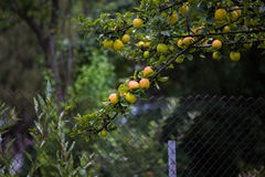 Yellow golden apples. A branch of yellow golden apples Stock Photography