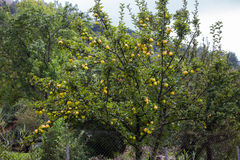 Yellow golden apples. A tree with yellow golden apples in an apple orchard Royalty Free Stock Image