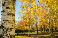 Golden Autumn - yellow birch trees in a park in sunny weather. Golden Autumn - yellow birch trees in a park in sunny weather royalty free stock photos