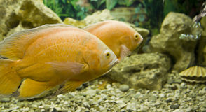 Yellow (golden) cichlasoma Royalty Free Stock Images