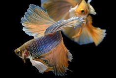Yellow golden Colorful  waver of Betta Saimese fighting fish Stock Photos