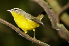 Yellow/Golden Crowned Warbler of Brazil Royalty Free Stock Photography