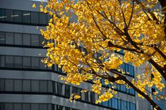 Yellow golden ginkgo in mid winter in Tokyo city in Japan. Yellow golden ginkgo in mid winter in Tokyo Japan Royalty Free Stock Photography