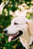 Yellow Golden Labrador Retriever Dog, Portrait Of Head Muzzle. Stock Photos
