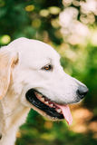 Yellow Golden Labrador Retriever Dog, Portrait Of Head Muzzle. Stock Photography