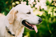Yellow Golden Labrador Retriever Dog, Portrait Of Head Muzzle. The Portrait Of Staring Head Muzzle In Profile Of Yellow Golden Labrador Retriever  Dog Or St Royalty Free Stock Images