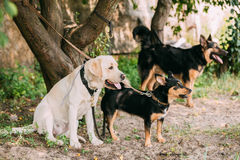 Yellow Golden Labrador And Two Another Mixed Breed Black Dogs Stock Image