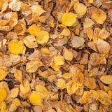 Yellow and Golden Leaves Royalty Free Stock Photography