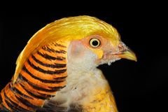 Yellow golden pheasant Stock Image