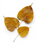 Yellow Golden Pipal leafs Stock Photos
