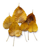 Yellow Golden Pipal leafs Royalty Free Stock Photos