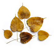 Yellow Golden Pipal leafs. Isolated on the white background Royalty Free Stock Images