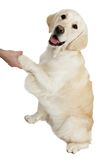 Yellow golden Retriever Dog Royalty Free Stock Photos