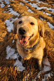Yellow golden retriever on yellow field. Golden retriever on field and smiling Stock Photos