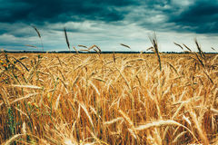 Yellow Golden Ripe Barley Ears In Summer Wheat Field. Moody Dark Royalty Free Stock Image