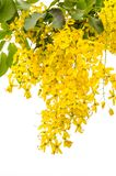 Yellow Golden shower Stock Photo