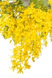Yellow Golden shower Royalty Free Stock Images