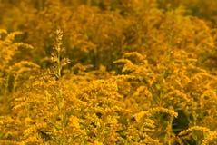 Yellow goldenrod Stock Photos
