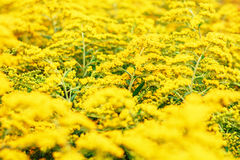 Yellow Goldenrod flowers Solidago Royalty Free Stock Images