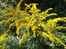 Yellow Goldenrod Royalty Free Stock Image