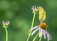 Yellow Goldfinch bird on coneflower Stock Photo