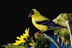 Yellow Goldfinch Stock Image